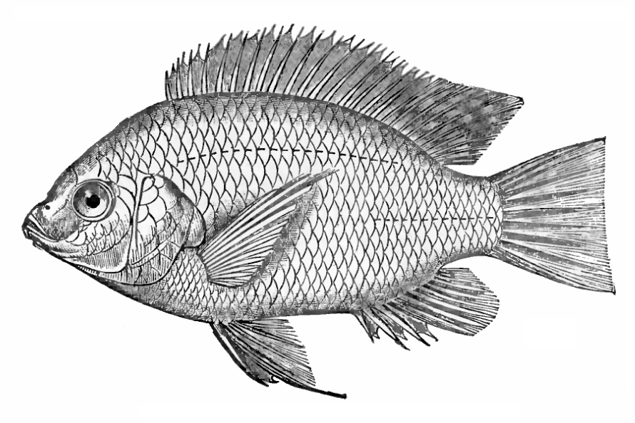 Nile Tilapia. Cichlid fish native to Africa that was introduced in Brazil. Source: Wikipedia.org