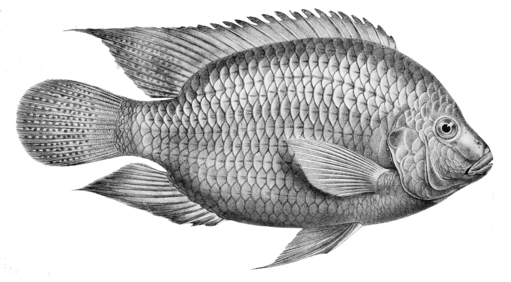 Tilapia Cabrae. Source: Wikimedia Commons.
